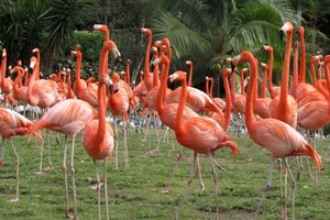 Flamingos in Busch Gardens